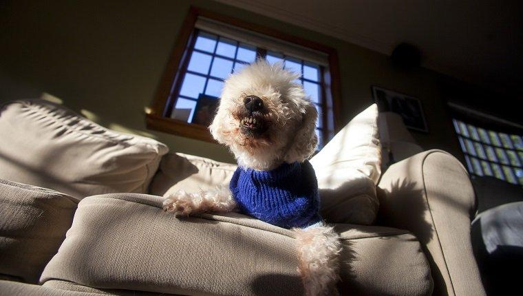A violent toy poodle expresses his outrage over being disturbed to have his picture taken.