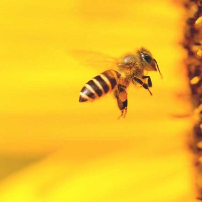 What Are the Benefits of a Bee Pollen Supplement?