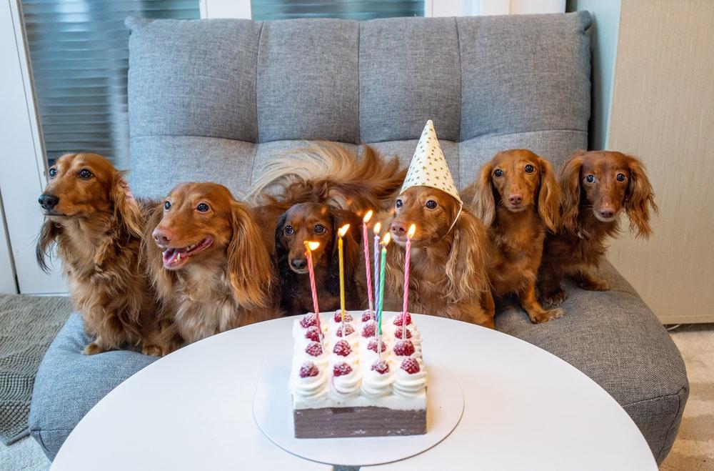 six tan dogs on sofa near cake