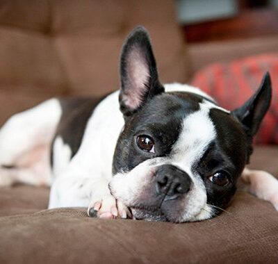 Boston Terrier Dog Qualities